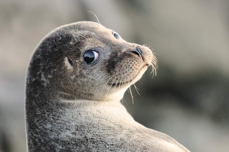 В Шотландии тюлень преследовал гребца, чтобы покататься на байдарке (видео)