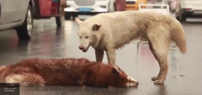В Китае собака  в течение получаса пыталась поднять хаски, который погиб под колесами автомобиля (Видео)