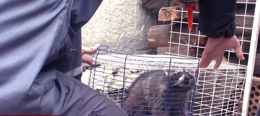 На Киевщине провели спецоперацию по спасению заблудившегося енота (видео)