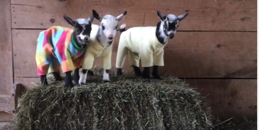 Pajama Party: Сеть взорвали маленькие прыгающие козлята в пижамах (видео)