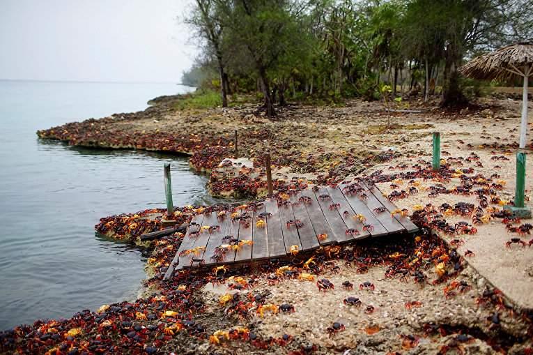 Кубу заполонили десятки тысяч крабов (Фото)