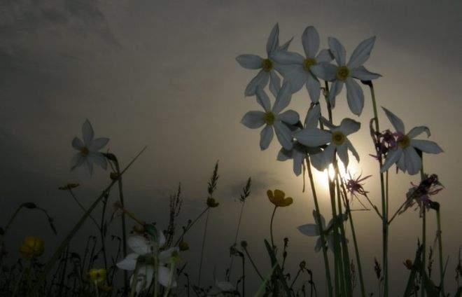Море невероятных цветов: в Закарпатье  зацвела Долина нарциссов (фото)