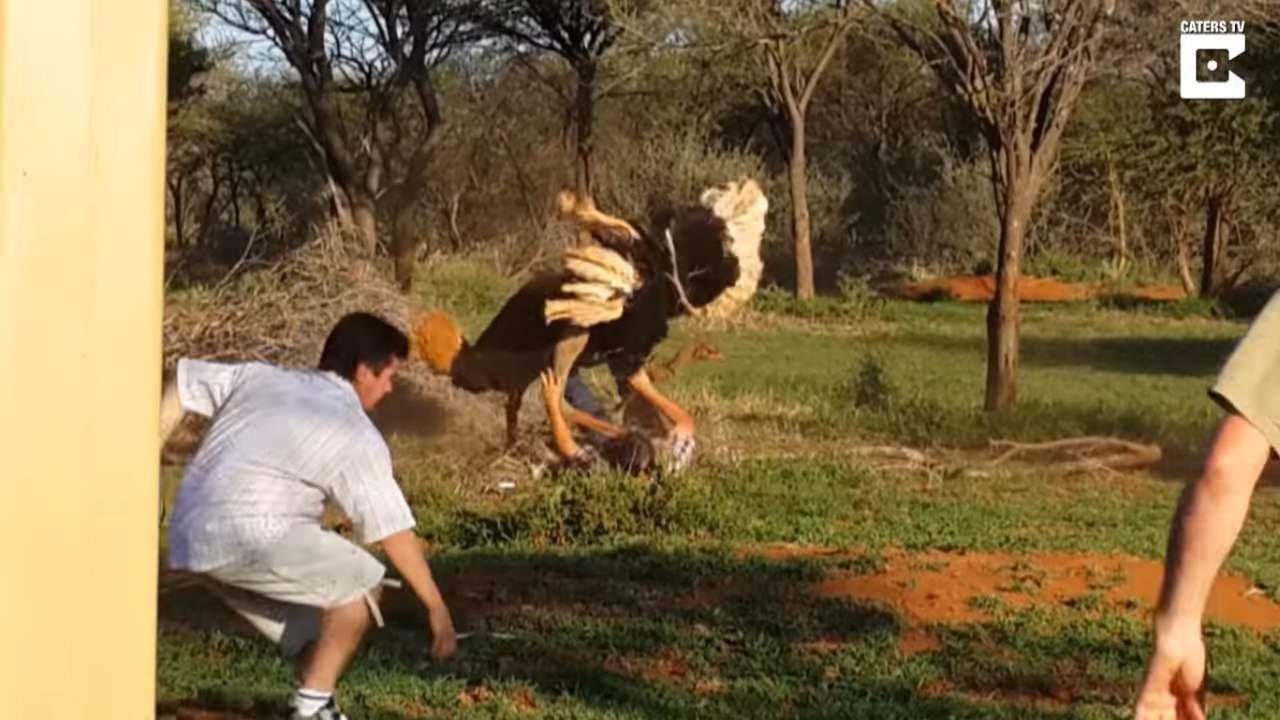 В Южной Африке страус, который не любит объятия, атаковал мужчину (видео)
