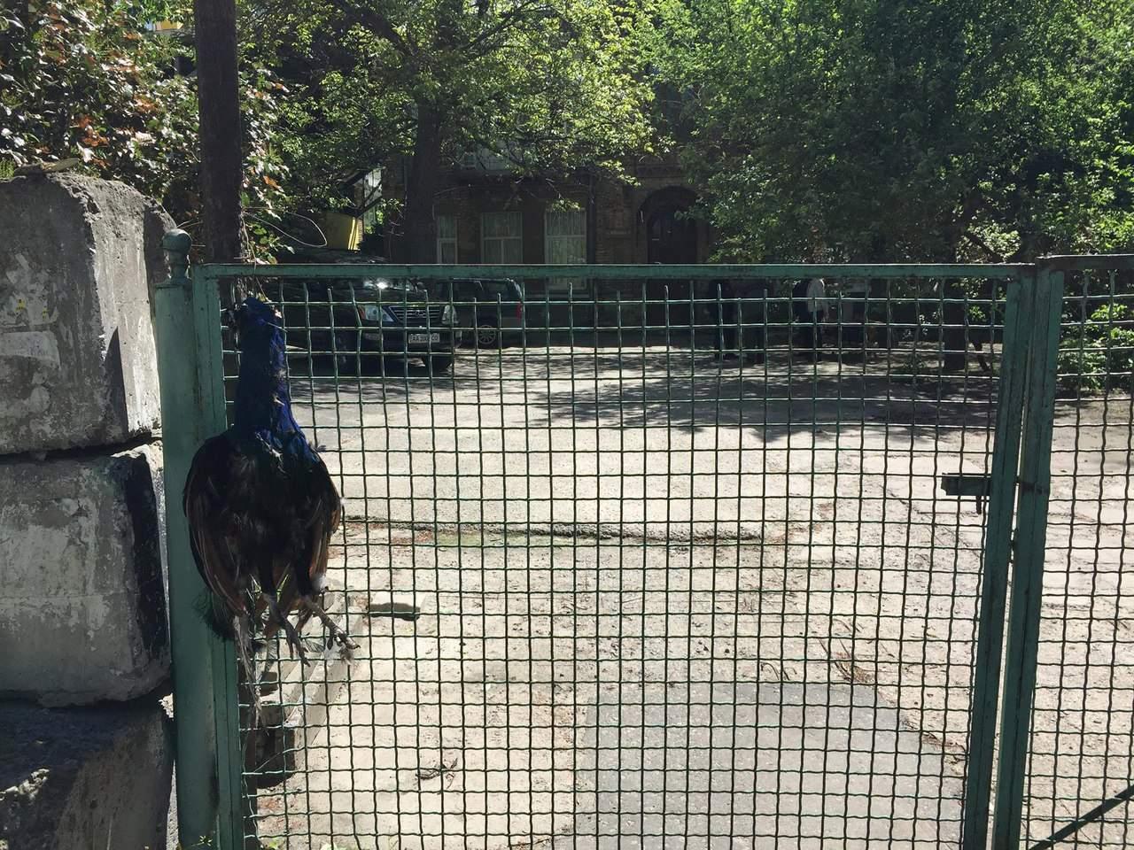 Невиданная жестокость: в Киеве живодёры убили павлина и повесили его на заборе (фото)