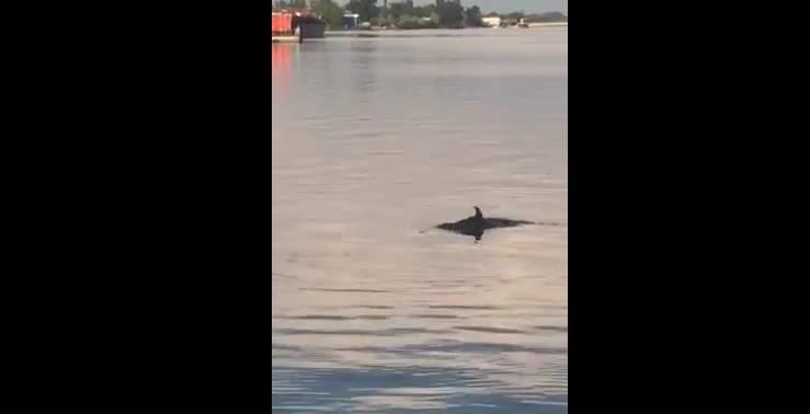 В Херсоне в Днепре на Набережной заметили дельфинов (видео)