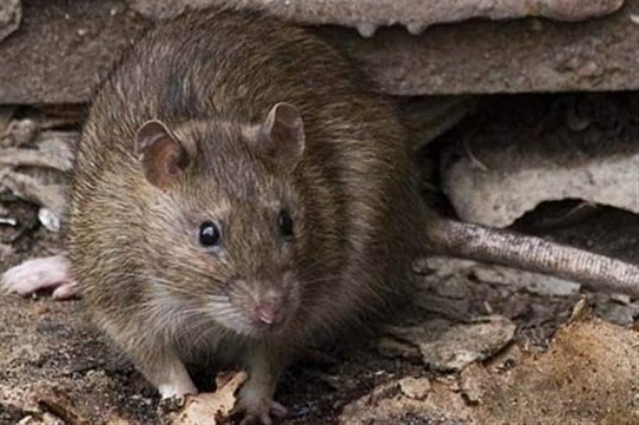 Во Львове на стихийных свалках завелись огромные крысы (видео)