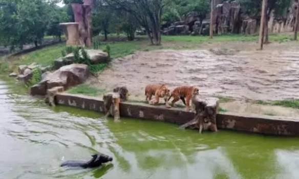 Сафари для тигров: в Китае сотрудники зоопарка бросили осла в клетку к хищникам (фото)
