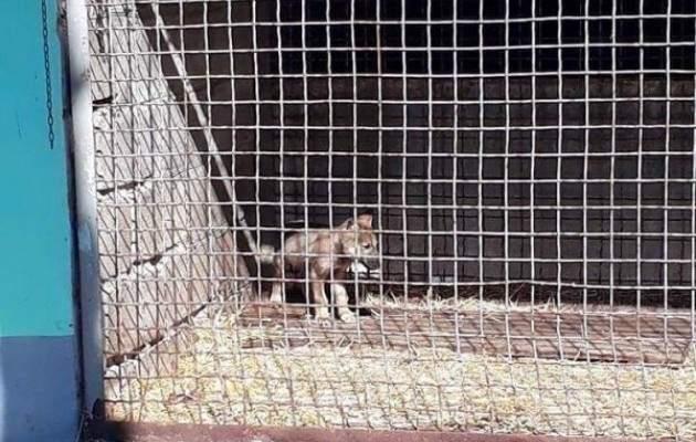 В Днепре волонтёры спасли истощенного волчонка (фото)