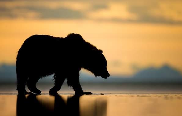 Несовершеннолетний американец стал жертвой разъяренного медведя