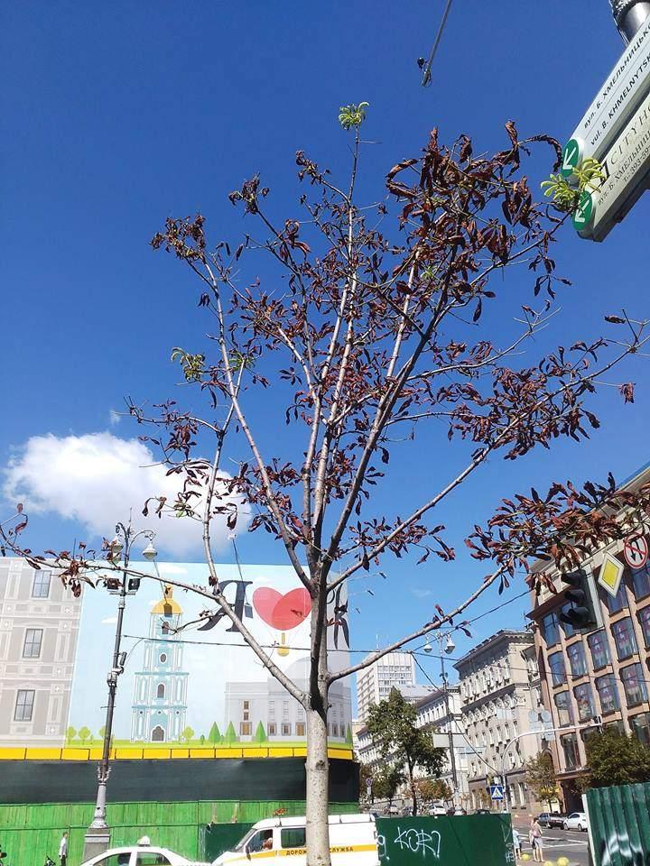 Не выдержали жары: в столице засохли эксклюзивные и дорогостоящие каштаны (фото)