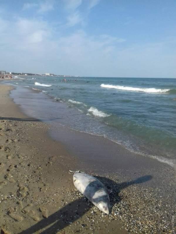 В Одессе отдыхающие обнаружили мертвую морскую свинью (Фото)