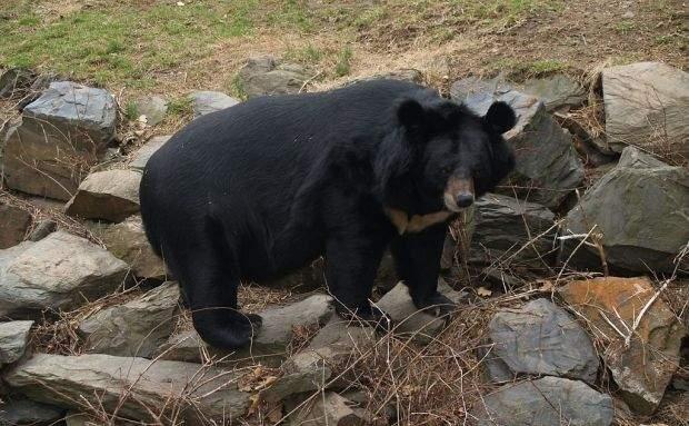 В США стая медведей «ограбила» пиццерию (видео)
