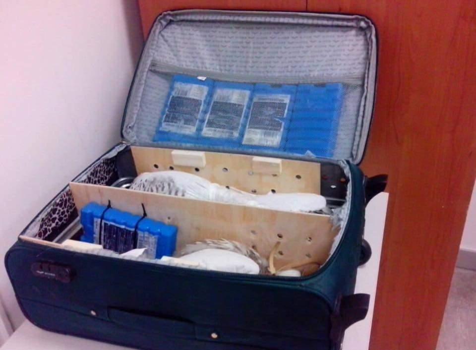 Под Киевом мужчина пытался вывезти в Дубаи соколов в чемодане (Фото)