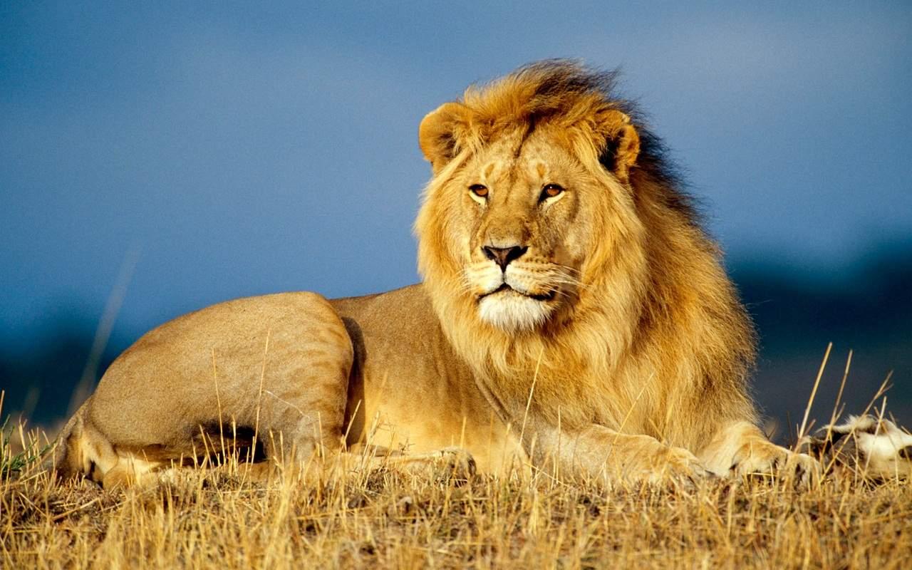 В цирке Кривого Рога от множественных болезней умер лев