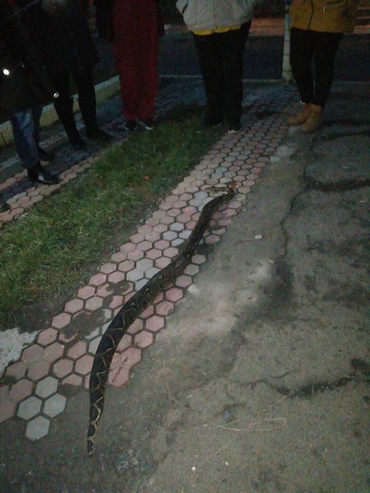 На Закарпатье по дворам местных жителей ползал огромный удав (Фото)
