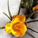 Украинцы публикуют в сети фото первоцветов, которые пробиваются сквозь снег