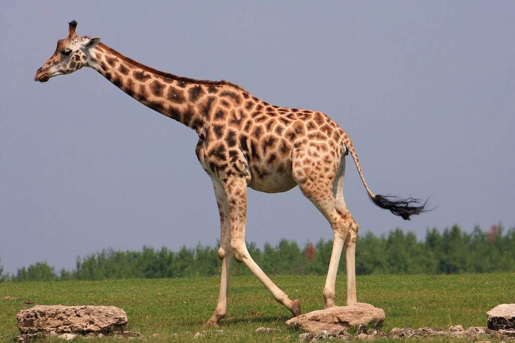 В ЮАР во время съемок скончался режиссер от удара жирафа