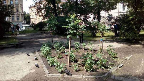 В центре Львова на клумбе бездомные высадили картошку