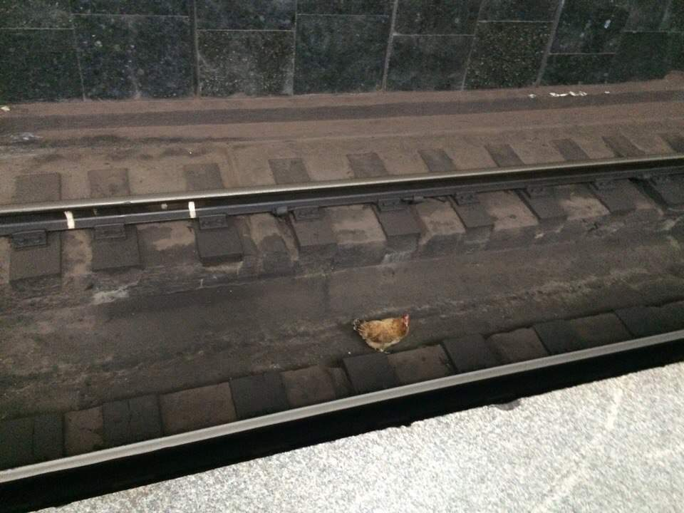 В харьковском метро гуляла курица (фотофакт)