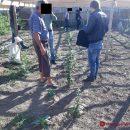 Одессит выращивал коноплю у себя дома
