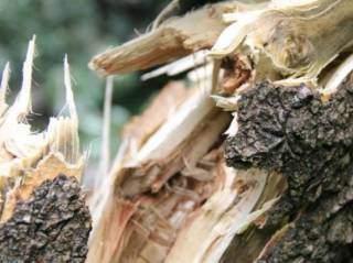 В столице местные жители страдают от падения деревьев