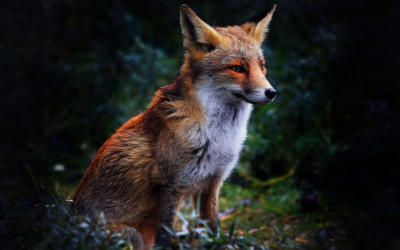 На Закарпатье установили, что в лесах бродят бешеные лисы