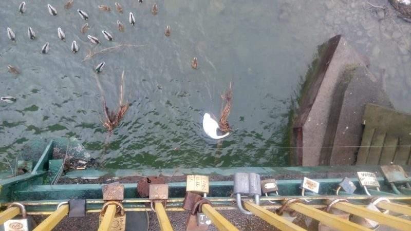 В Ужгороде обнаружили мертвого лебедя (фото)