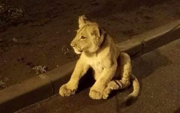 По одесским улицам бродил лев