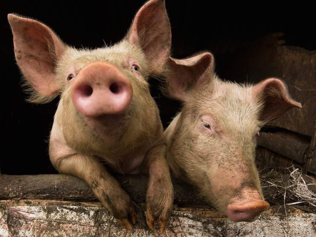 В Харькове обнаружили тела свиней с вирусом африканской чумы