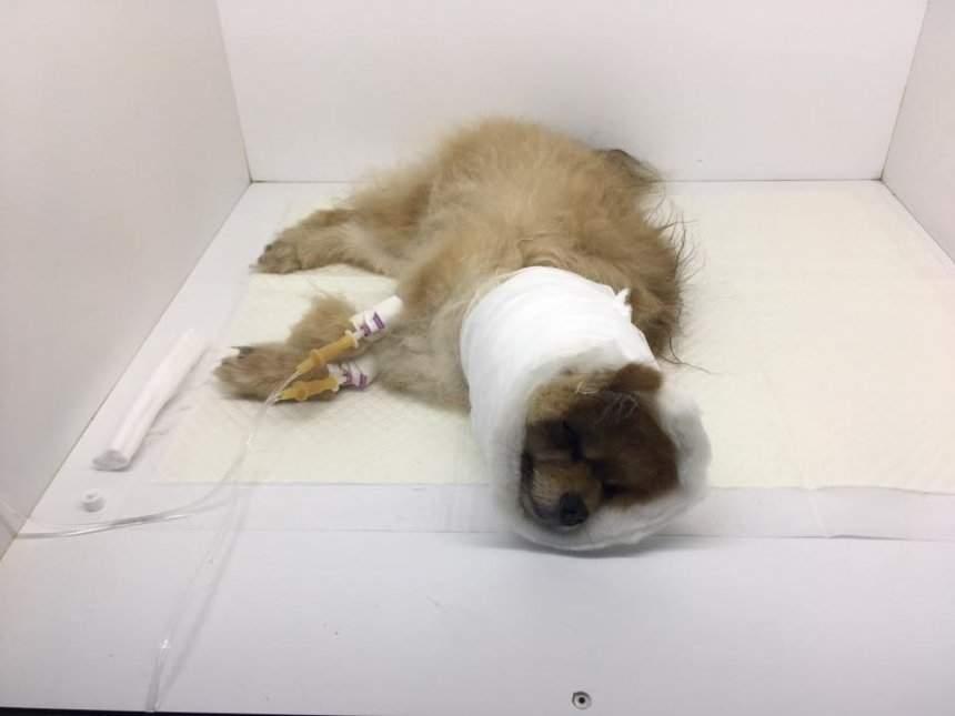 В Николаеве агрессивная собака накинулась на женщину с пёсиком и загрызла её на глазах у хозяйки