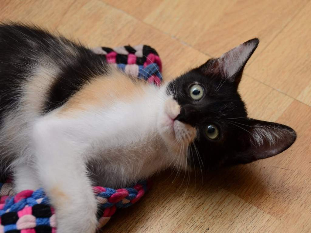 В Тернополе домашняя кошка разбудила хозяйку, увидев, что у ее 10-летней дочери начался приступ