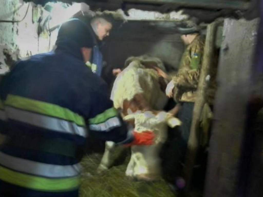 В Днепропетроской области спасли корову в положении, которая рухнула в кормовой желоб (ФОТО)