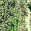 В Одесской области обнаружили крупную плантацию конопли