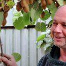 Первый опыт выращивания плодов киви в Украине