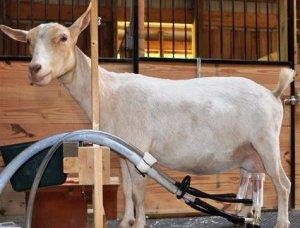 Доильный аппарат для коз: почему без коллектора?